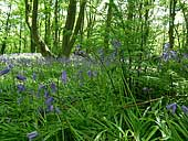 bluebells - Marbury Country Park - Cheshire