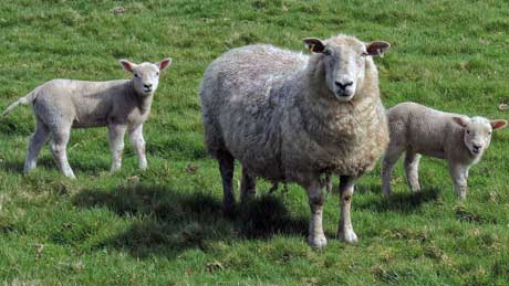 Are ewe friendly? Welsh sheep in rural Denbighshire (OS Grid Ref.  SJ021497  Nearest Post Code   LL21 9PP)