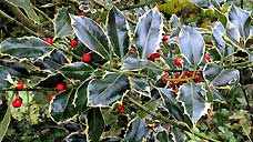 Holly at Powis Castle - Welshpool, Powys (OS Grid Ref. SJ215063 Nearest Post Code SY21 8RF)