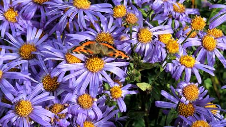 Michaelmas Daisies at Threave Garden, Castle Douglas, Dumfries and Galloway (OS Grid Ref. NX752604 Nearest Post Code DG7 1RX)