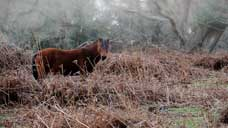 New Forest Pony - Burley, Hampshire (OS Grid Ref. SU227047 Nearest Post Code BH24 4HP)
