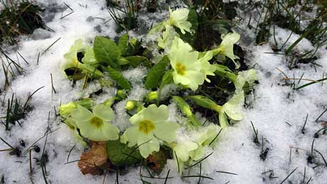 Primroses in the grounds of Hornsea Parish Church, East Yorkshire (OS Grid Ref. TA201476 Nearest Post Code HU18