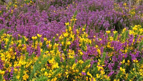 Heather & gorse on the Quantock Hills, Somerset (OS Grid Ref.  ST158381 Nearest Post Code TA4 4AB)