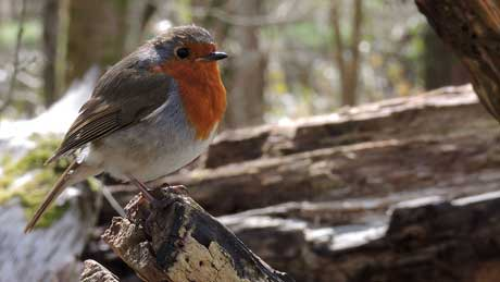 Robin at St. Fagans, Cardiff (OS Grid Ref. ST112773 Nearest Post Code CF5 6DP)