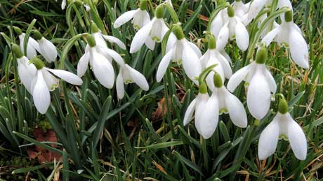 Snowdrops in St Llawddog's Churchyard, Cenarth - Carmarthenshire (OS Grid Ref. SN270415 Nearest Post Code SA38 9JL)