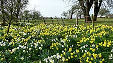 Daffodils at the village of Teigh - Rutland (OS Grid Ref. SK864160 Nearest Post Code LE15 7RT)
