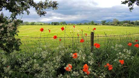 Wayside flowers in the Eden Valley, Cumbria (OS Grid Ref. NY502243 Nearest Post Code CA10 2LS)