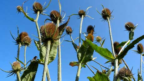 Wild teasels at Penmon Priory, Isle of Anglesey (OS Grid Ref. SH630806 Nearest Post Code LL58 8SP)