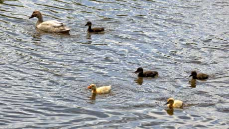 Ducklings at Broken Cross, Rudheath, on the Trent and Mersey Canal - Cheshire