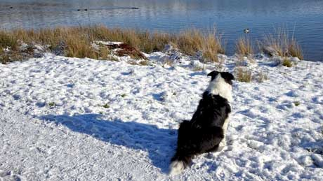 A duck watching sheepdog at Cowm Reservoir, Whitworth