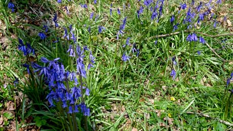 Native bluebells - Penrhyn Castle