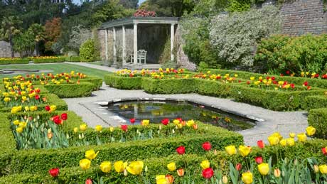 Tulips in the upper walled garden at Penrhyn Castle