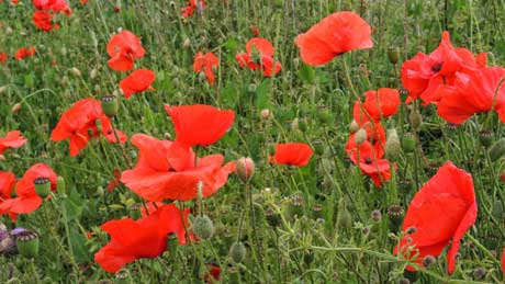 Roadside Poppies at Browson Bank, North Yorkshire