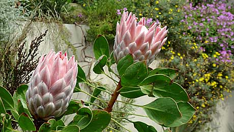 Protea plants in the Great Glasshouse