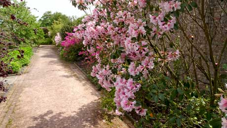 Herbaceous borders (rhododendron - 'Pink Gin')