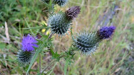 Thistles (village of Parton)  Dumfries and Galloway