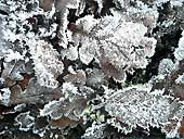 frosted oak leaves at Dunham Massey, Cheshire (SJ737875)