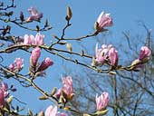 Magnolias at the Holker Estate, Cumbria (SD359776)