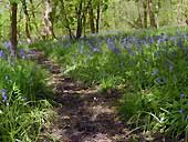 Native bluebells at Spring Wood - Whalley, Lancashire (SD741360)